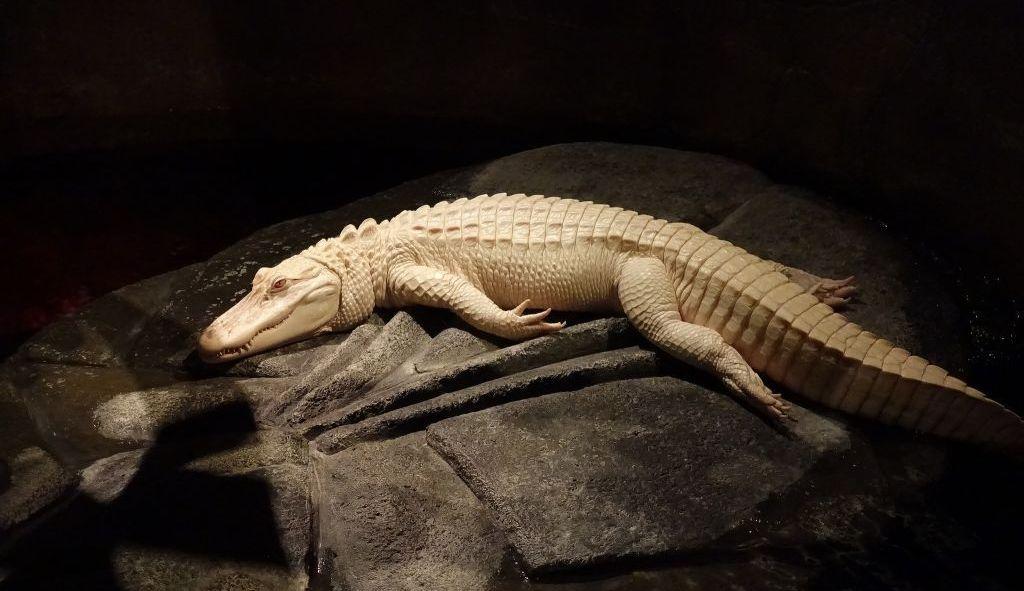 Аллигатор-альбинос.